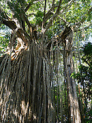 The famous Curtain Fig Tree in the Atherton Tablelands near Yungaburra, QLD, Australia.