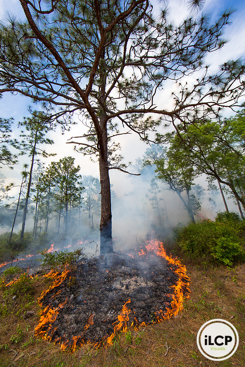 Prescribed fire rings a longleaf pine tree (Pinus palustris) on Eglin Air Force Base, Florida, USA. May 2014