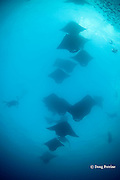underwater photographer captures images of reef manta rays, Manta alfredi (formerly Manta birostris ), in feeding aggregation, streaming in through Hanifaru Bay entrance in search of plankton, Hanifaru Lagoon, Baa Atoll, Maldives ( Indian Ocean )
