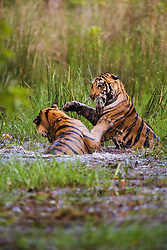 Two sub-adult Bengal tiger siblings (Panthera tigris tigris) playing in a water hole on a hot summer afternoon, Bandhavgarh,Madhya Pradesh,India