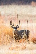 Mature whitetail buck in tall grass prairie habitat