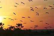 Africa, Kenya, lake Turkana birds at sunset October 2005
