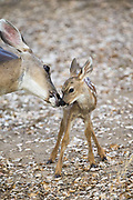 Black-tailed Deer<br /> Odocoileus hemionus<br /> Mother nuzzling three-day-old fawn<br /> Loomis, California