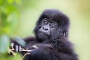 This picture was captured during gorilla trekking in Rwanda. This baby were eating on a plant, and suddenly we had great eye contact | Dette bildet tok jeg under en gorillasafari i Rwanda. Denne babyen satt og spiste på en plante, og plutselig hadde vi skikkelig blikkontakt.