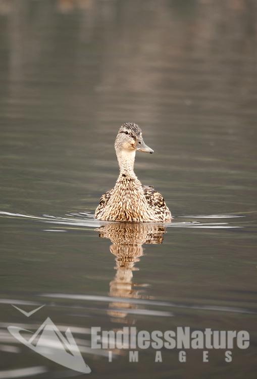 Hen Mallard swims quietly across a northern Utah marsh.