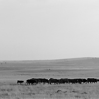 SOUTH AFRICA 1989 - South Africa: Cattle being brught in, winter evening, Mathopestad, Western Transvaal (now North West Province)  (Photo by Greg Marinovich)