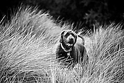 Black and White Portrait of Coco in the Tall Grass