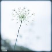 A blue pastel photograph of a Queen Anne's Lace flower on a white background. A blue pastel border ties the image together. A pretty and soft image for any room that evokes a peaceful mood like a baby's room, bedroom, bathroom, office, reading room etc.