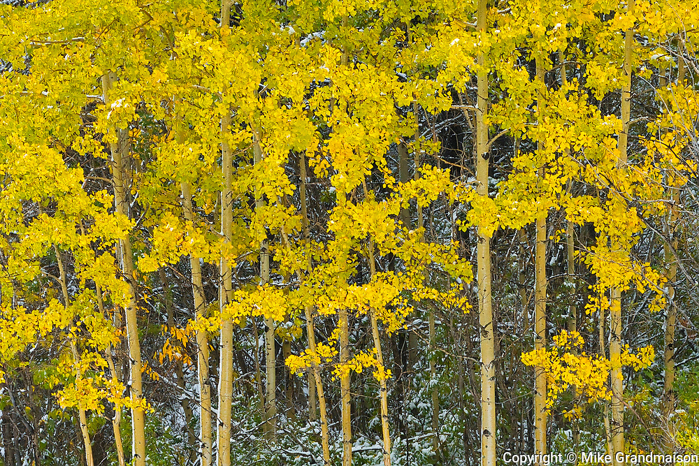 Snow and aspen trees in autumn colors <br />Kananaskis Country<br />Alberta<br />Canada