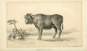 Buffalo D'Italia (Italian Buffalo) from Cattle and dairy farming. Published 1887 by Govt. Print. Off. in Washington. United States. Bureau of Foreign Commerce (1854-1903)