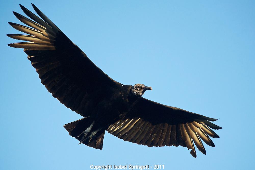 Black Vulture.  (Coragyps atratus), Courtenay, Matto Grosso, Brazil, Isobel Springett