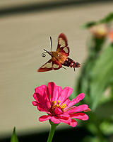 Clearwing Hummingbird Moth. Image taken with a Fuji X-H1 camera and 80 mm f/2.8 macro lens (ISO 200, 80 mm, f/2.8, 1/4000 sec).