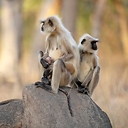Pair of gray langur (Semnopithecus dussumieri) with new-born in Pench National Park, Madhya Pradesh, India.