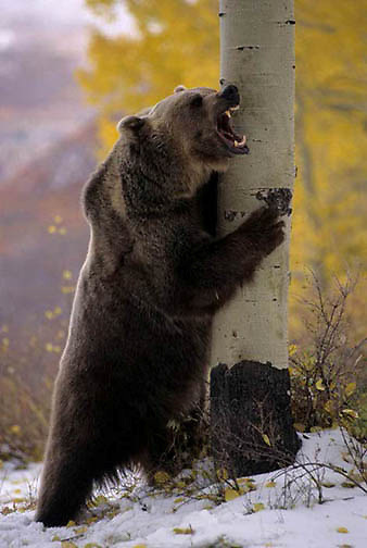 Grizzly Bear, (Ursus horribilis) Standing up. Late Fall. Montana.  Captive Animal.