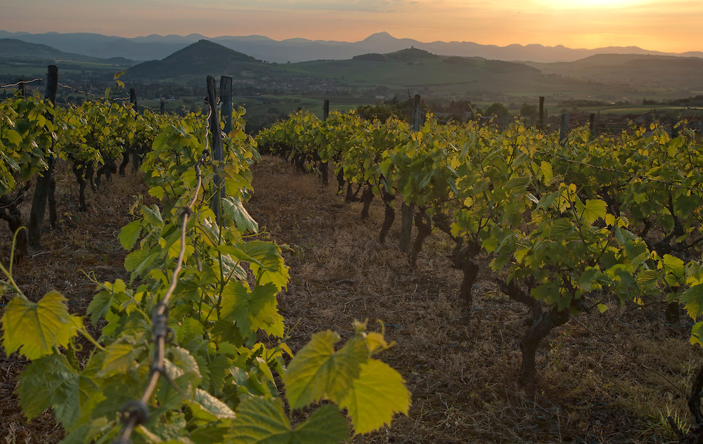 Vineyard in evening sun with some vulcanos on the background, Égliseneuve près Billlom, Auvergne, France