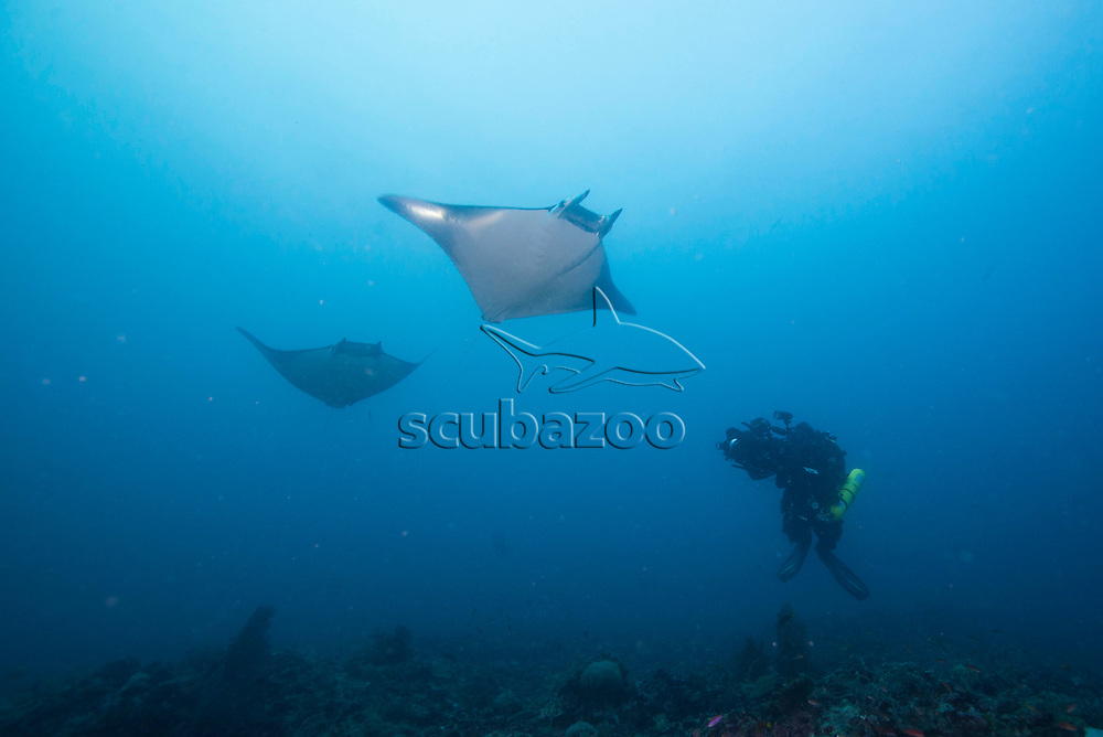 A rebreather diver cameraman in the background over a deep reef, filming two Devil Rays, Mobula thurstoni, swimming in the blue above, Malapascua Island, Cebu, Philippines.