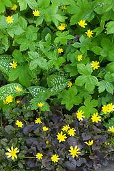 Ranunculus, Celandine with pulmonaria foliage at Glebe Cottage