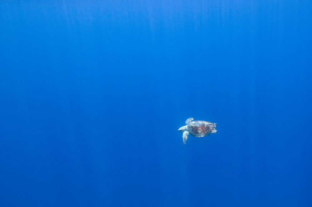 Loggerhead turtle, Caretta caretta, in the big blue, Pico, Azores, Portugal