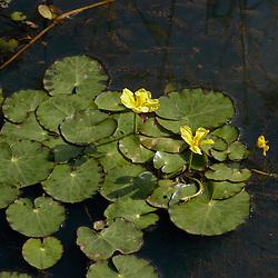 Menyanthaceae, Watergentiaanfamilie