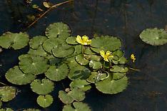 Watergentiaan, bloemen, flowers
