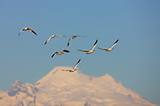 Six snow geese (Chen caerulescens) appear to fly over Mount Baker, a 10,781 foot (3,286 meter) volcano in Washington state. Tens of thousands of snow geese winter in the Skagit Valley of Washington state, feeding on leftovers in farmers' fields.