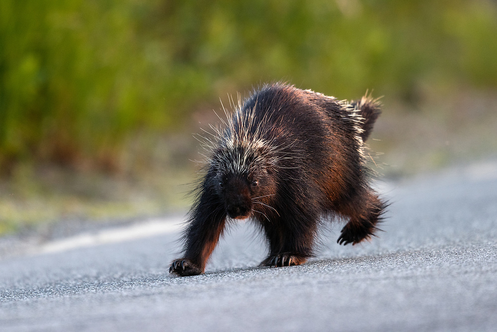 Porcupine, Acadia National Park, Maine