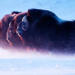 KATEGORIESIEGER S&Auml;UGETIERE beim &quot;EUROP&Auml;ISCHEN NATURFOTOGRAF des JAHRES 2011&quot; Wettbewerb.<br /> <br /> Three bull muskox head towards the setting sun in a blizzard. Northwestern Alaska