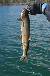 WY: Wyoming, Yellowstone National Park:.Cutthroat trout from Yellowstone Lake.Photo #: yellow1038..Photo copyright Lee Foster, 510/549-2202, lee@fostertravel.com, www.fostertravel.com..