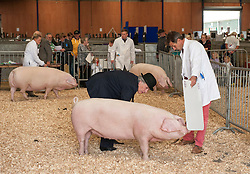 © Licensed to London News Pictures. 27/05/2015. Shepton Mallet, Somerset, UK.  Pigs are paraded for judging at the Royal Bath & West Show.  Photo credit : Simon Chapman/LNP