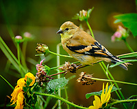 Immature Goldfinch. Image taken with a Fuji X-T2 camera and 100-400 mm OIS lens (ISO 400, 400 mm, f/5.6, 1/60 sec).