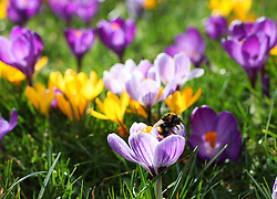 © Licensed to London News Pictures. 26/02/2014. Basingstoke, Hampshire, UK. A bumblebee collecting pollen and nectar from open Crocus flowers in Eastrop Park, Basingstoke today 26th February 2014. The good weather has offered a window of opportunity for the bees, which are suffering from population decline across the UK due to disease and habitat loss. Photo credit : Rob Arnold/LNP