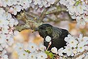 Tui, blossom tree, New Zealand