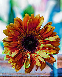 A gerber daisy with an artistic feel to the petal details