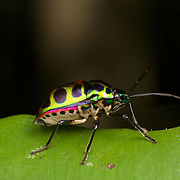 Chrysocoris stolli of the family Scutelleridae. They are commonly known as jewel bugs or metallic shield bugs due to their often brilliant coloration.