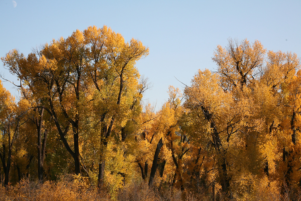 Grand Teton National Park, Wyoming: These trees have just turned color, welcoming fall with their golden color. Edition on 500.