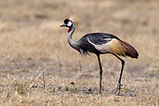 Grey Crowned Crane (Balearica regulorum)  from Maasai Mara, Kenya