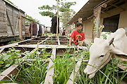 30 JUNE 2006 - PHNOM PENH, CAMBODIA: A cow grazes in an abandoned freight flatbed car in the Phnom Penh train station. While much of Cambodia's infrastructure has been rebuilt since the wars which tore the country apart in the late 1980s, the train system is still in disrepair. There is now only one passenger train in the country. It runs from Phnom Penh to the provincial capitol Battambang and it runs only one day a week. It takes 12 hours to complete the 190 mile journey.  Photo by Jack Kurtz / ZUMA Press