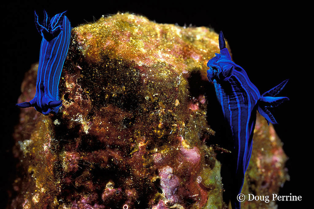 blue-striped sea slugs, Tambja mullineri, endemic to Galapagos Islands, Ecuador,  ( Eastern Pacific Ocean )