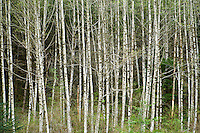 Stand of Red Alder trees in central cascades of Washington State, USA