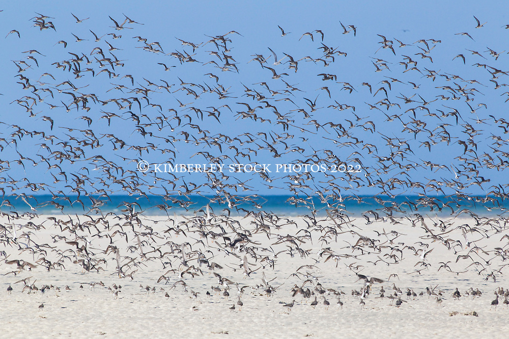 Shorebirds rise in a flock on the beach at the Lacepede Islands north of Broome, Western Australia