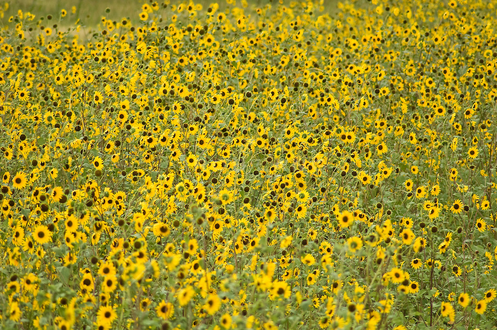 Black eyed susan flowers blooming in New Mexico