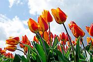 eigen LISSE  - Visitors tourist, tourists from the tulip fields in Lisse taking pictures  each other between the tulips are in bloom. stands in the Keukenhof in bloom. Flower bulbs Bulb Region Economy enjoy hillegom Keukenhof Spring Lisse Netherlands pension retiree. Tourism tulips tulip field spring holiday COPYRIGHT ROBIN UTRECHTLISSE - Bezoekers toerist , toeristen van de tulpenvelden in Lisse fotograferen elkaar tussen de tulpen die in bloei staan.  staat in de keukenhof in bloei. bloembollen   Bloemen   Bollenstreek          Economie   genieten   hillegom   Keukenhof   Lente   Lisse   Nederland   pensioen   pensionado.      Toerisme   tulpen   tulpenveld   vakantiegeld   voorjaar COPYRIGHT ROBIN UTRECHT