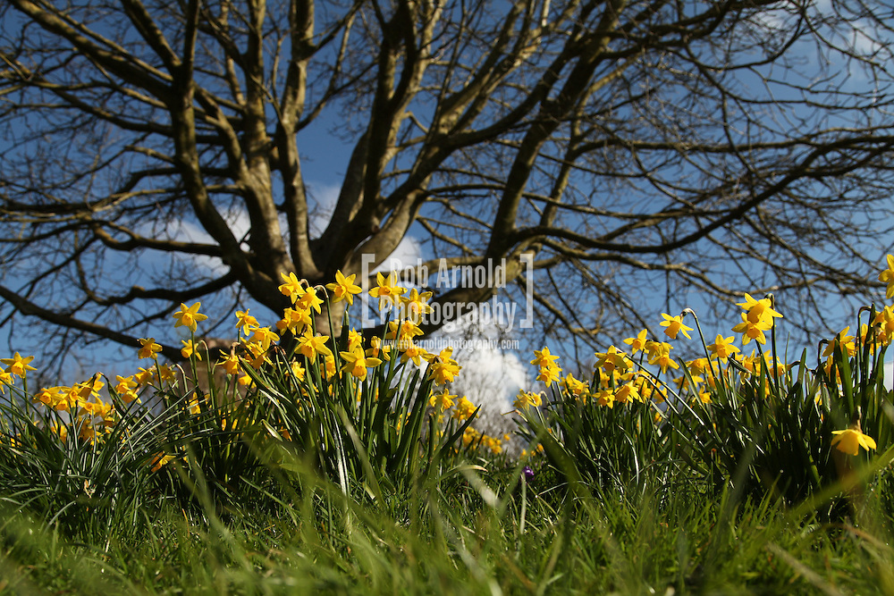 31/03/2013 - Basingstoke,UK. Spring flowers blooming in easter sunshine in a park in Hampshire. A cold March has delayed the start of Spring across the country. Photo by Rob Arnold