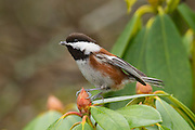 A chestnut-backed chickadee (Poecile rufescens) rests on a rhododendron bloom. This particular chickadee shows the Pacific coloration, which is more vibrant than with the other types of black-capped chickadees.