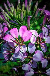 Large pink and purple petals one each cluster surround pointy yellow florets from the center in this flowing fine art floral shot from a garden.<br />