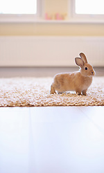 Rabbit Standing on Rug