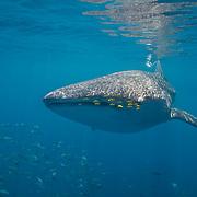 Palawan - Whale Sharks Honda Bay