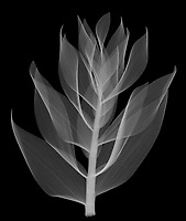 X-ray image of Persian fritillary foliage, lateral view (Fritillaria persica, white on black) by Jim Wehtje, specialist in x-ray art and design images.