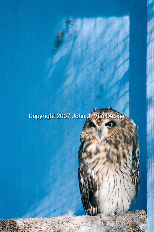 Short-eared Owl, Asio flammeus......Photo taken at The Raptor Trust, one of the premier, privately funded wild bird rehabilitation centers in the United States. The Raptor trust is recognized as a national leader in the fields of raptor conservation and avian rehabilitation.