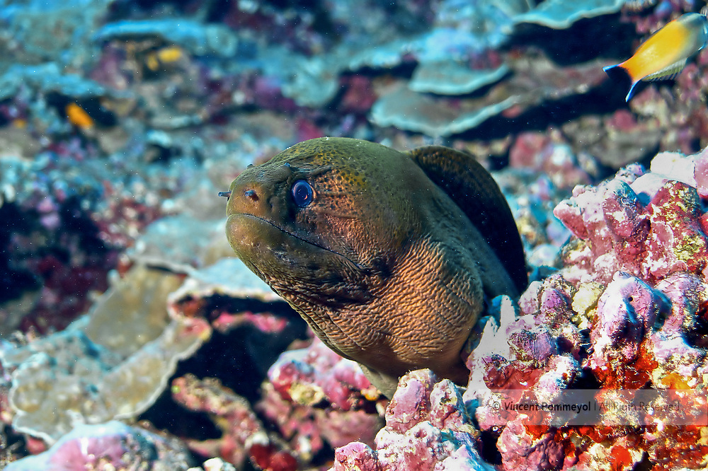 Giant moray-murène javanaise (Gymnothorax javanicus) of Rangiroa atoll, French Polynesia.